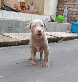 Anak anjing Pitbul mix doberman