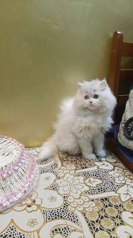 Long fur healthy baby Persian cat kitten sale