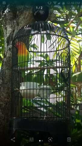 Jual Lovebird sepasang ke2-2nya Gacor FS, jinak, sehat, no cacat, Nego