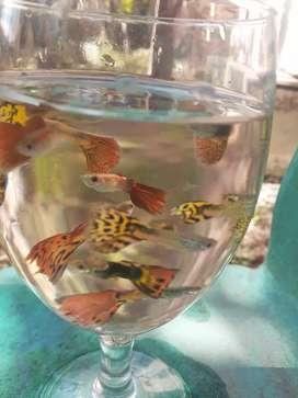 ikan guppy /gobi