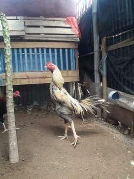 Ayam kampung & bangkok murah