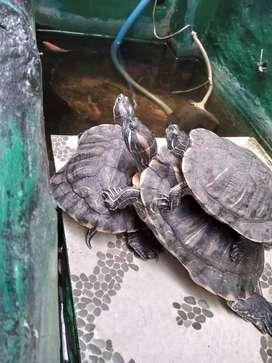 Dijual kura-kura brazil.. Harga untuk 3 ekor