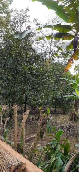 Kebun Manggis Pinggir Jalan Desa Dijual Murah di Purwakarta Jawa Barat