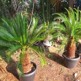 Pohon sikas - tukang taman - jual tanaman