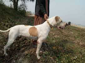 Pure Bull dog female at low price