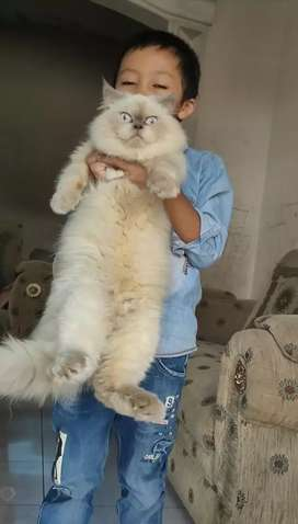 Kucing Persia Himalaya flatnose good quality