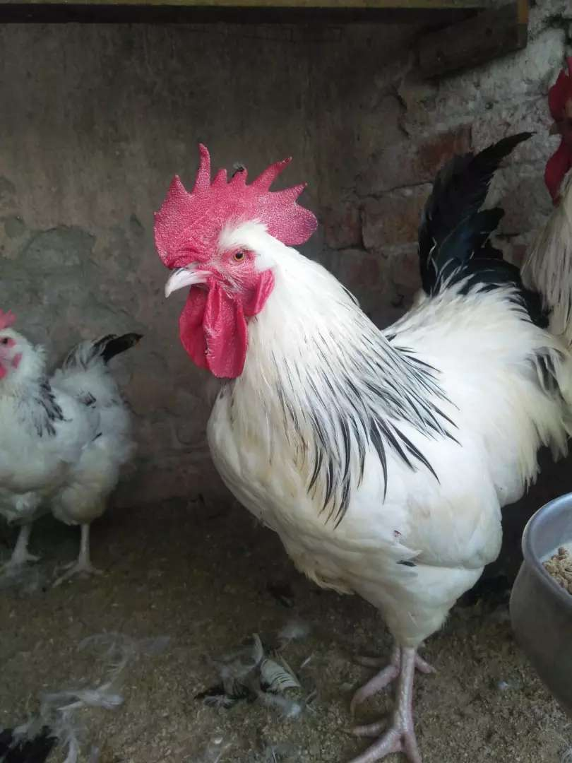 Light Sussex haritage Male Rooster