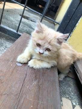 Persia kitten 3 bulan jantan