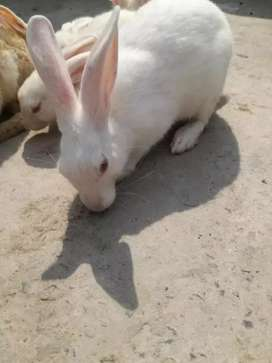 Cute Rabbits full White red Eyes