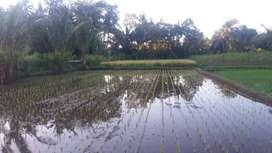 Di Jual Tanah Sawah Desa Trimulyo, Sleman