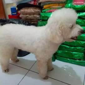 White toy poodle stambum vaksin