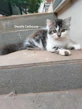 Kucing Persia Medium Breeding by Desafa Cathouse