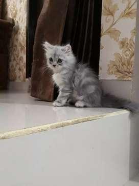 Anakkan kucing kitten persia medium