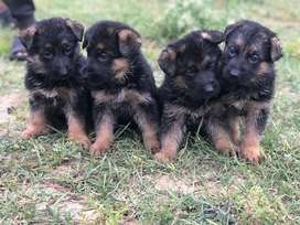 German shephred Pink pedigreed Pups avail From World Champion lines