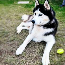The most beautiful male husky for stud