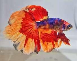 Cupang Halfmoon Nemo Multi