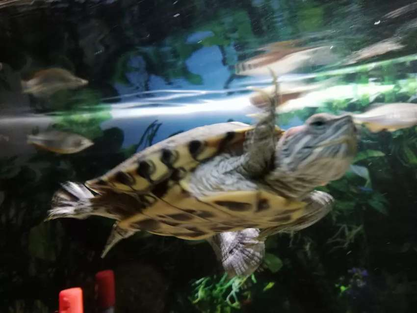 Red Eared Slider Turtle for Sale 0
