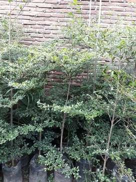 Pusat tanaman hias dan Rumput hias