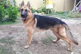 Anjing - Pacak Anjing German Shepherd / Herder