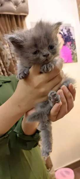Exotic Grey male kitten