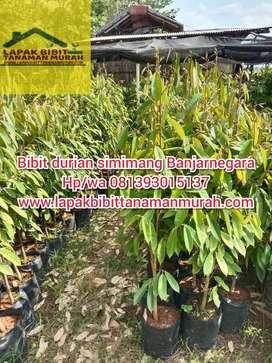 Bibit durian simimang Banjarnegara
