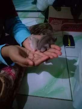 Jual hamster winter  2 pasang