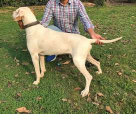 English Pointer Male for sale or exchange