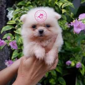 Anjing minipom lucu