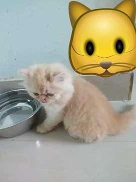 Pure breed persian kittens