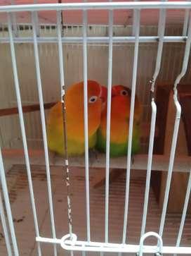 JUAL LOVE BIRD 6 EKOR + KANDANG 3+GOLODOG 3