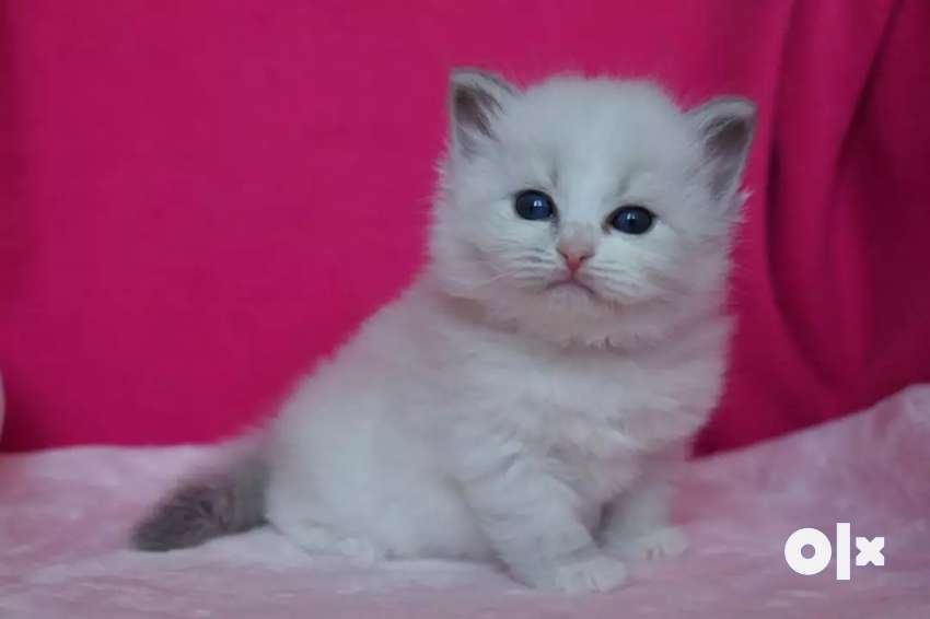 Golu molu Persian kitten for sale 0