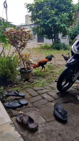 Ayam kampungggg