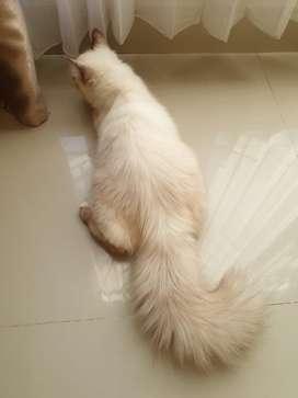 Jual kucing persia sehat lincah