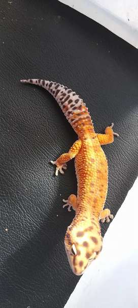 Gecko morph emerine,male uk 23cm