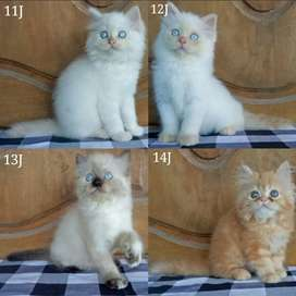 Kucing persia kitten longhair