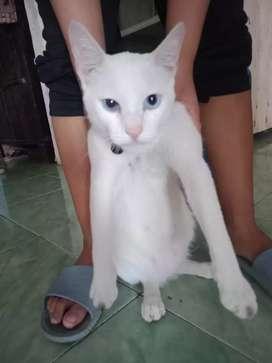 Kucing mixdome putih di jual