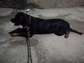 3years old non pedigree trained female rottweiler