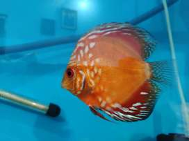 Discus fish aquariam