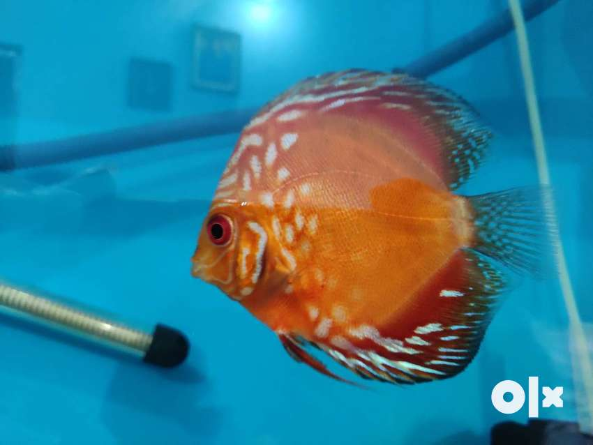 Discus fish aquariam 0
