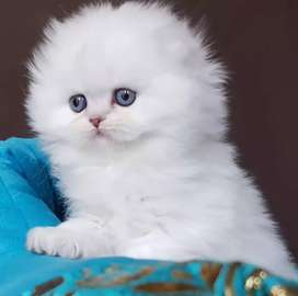 All colour Persian kitten for sale