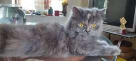 Persian cat( Female )