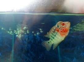 Ikan louhan SRM kualiatas