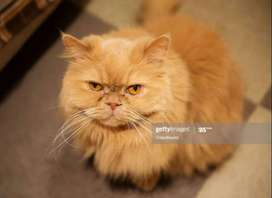 Persion female cat for sale