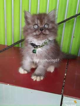Kitten persia jantan wrn abu-abu,  umur 2 bln