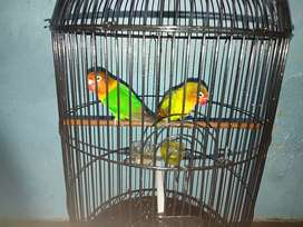 LoveBird Josan Sepasang