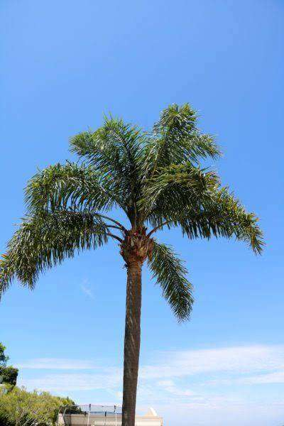 PLANT (QUEEN PALM)