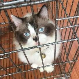 Pacak kucing ragdoll