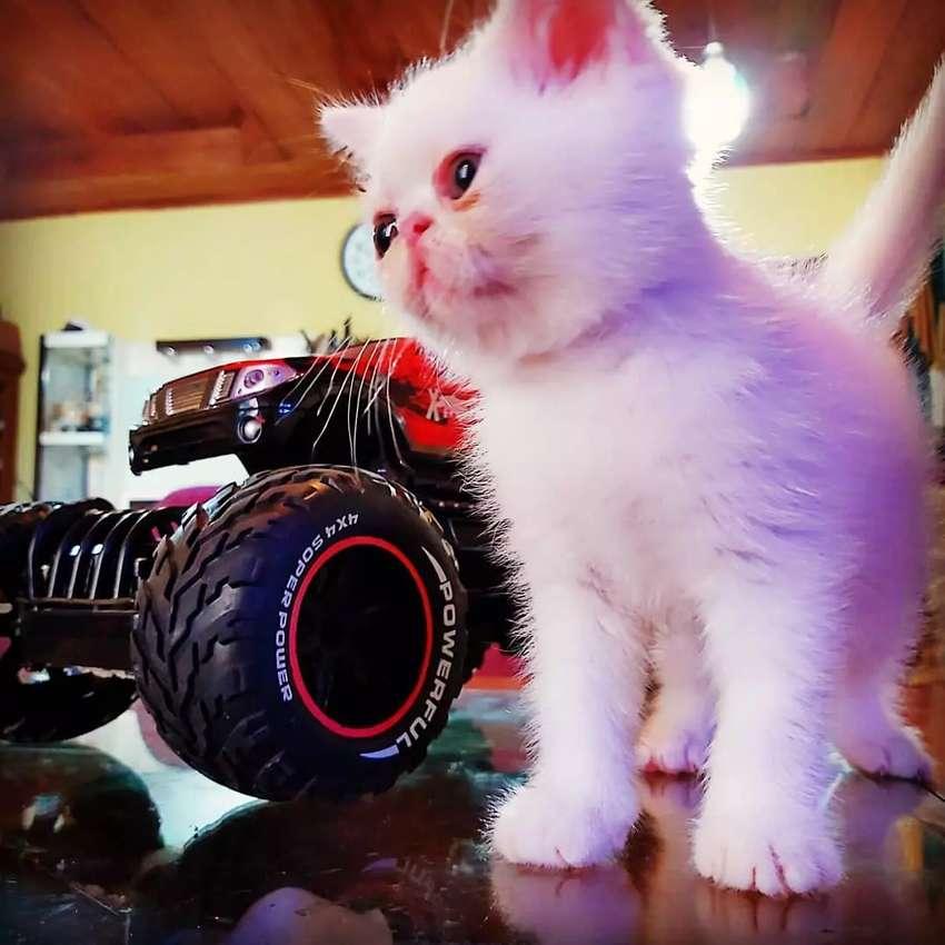Anak kucing Persia Peaknose Exotic white solid Jantan 0