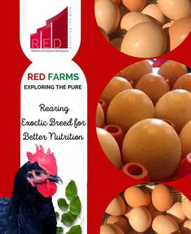 Desi Eggs - Table Eggs- Supreme quality- RED Farms