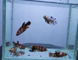 6 Ekor Cupang Female/Betina Nemo